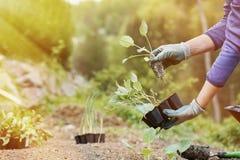 Piantatura del giardiniere, arante le piantine dei broccoli dentro fotografie stock