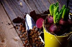 Piantatura del Hyacinth Bulbs Fotografie Stock Libere da Diritti