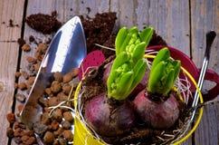 Piantatura del Hyacinth Bulbs fotografia stock