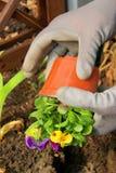 Piantatura del pansy Fotografia Stock