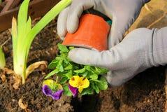 Piantatura del pansy Fotografia Stock Libera da Diritti