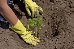 Piantatura del pomodoro Fotografia Stock Libera da Diritti