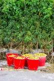 Piantatura del pomodoro Immagini Stock