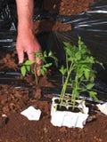 Piantatura del pomodoro Immagini Stock Libere da Diritti