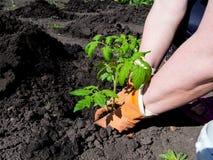 Piantatura del pomodoro della piantina su una molla in primavera Fotografie Stock Libere da Diritti