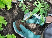 Piantatura del pomodoro in giardino fotografia stock