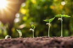 piantatura del punto crescente del fagiolo rosso con alba immagine stock libera da diritti
