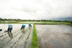 piantatura del riso Immagine Stock Libera da Diritti