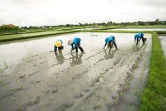 Piantatura del riso Fotografia Stock Libera da Diritti