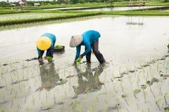 piantatura del riso Immagine Stock