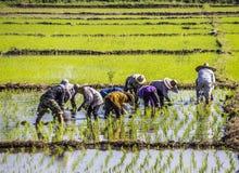 Piantatura del riso Immagini Stock