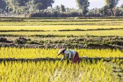Piantatura del riso Fotografie Stock Libere da Diritti