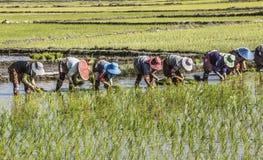 Piantatura del riso Immagini Stock Libere da Diritti