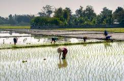 Piantatura del riso Fotografia Stock