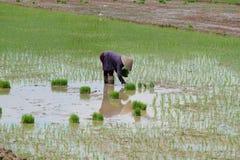Piantatura del riso Fotografie Stock
