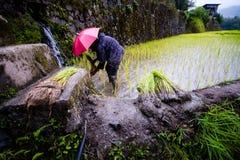 Piantatura del riso ai terrazzi del riso di Banaue, Filippine Immagine Stock