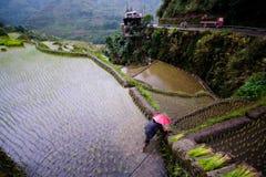 Piantatura del riso ai terrazzi del riso di Banaue, Filippine Fotografia Stock Libera da Diritti
