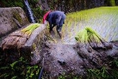 Piantatura del riso ai terrazzi del riso di Banaue, Filippine Immagini Stock Libere da Diritti