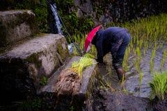 Piantatura del riso ai terrazzi del riso di Banaue, Filippine Fotografie Stock Libere da Diritti