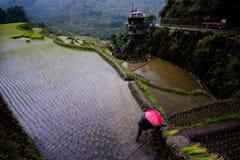 Piantatura del riso ai terrazzi del riso di Banaue, Filippine Fotografia Stock