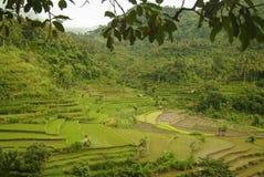 Piantatura del riso in Bali orientale Immagini Stock