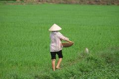 Piantatura del riso dell'agricoltore del Vietnam Immagine Stock Libera da Diritti