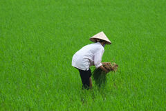 Piantatura del riso dell'agricoltore del Vietnam Fotografie Stock Libere da Diritti
