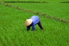 Piantatura del riso dell'agricoltore del Vietnam Immagini Stock Libere da Diritti