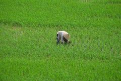 Piantatura del riso dell'agricoltore del Vietnam Fotografia Stock Libera da Diritti