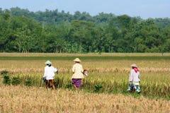 Piantatura del riso in Indonesia Immagine Stock Libera da Diritti