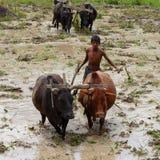 Piantatura del riso nel Nepal Immagine Stock Libera da Diritti