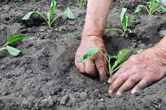 Piantatura del semenzale del cavolo Fotografia Stock