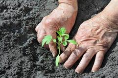 Piantatura del semenzale del pomodoro Immagini Stock
