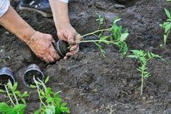 Piantatura del semenzale del pomodoro Immagine Stock