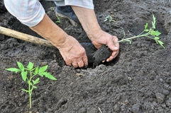 Piantatura del semenzale del pomodoro Fotografia Stock