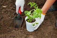 Piantatura del semenzale del pomodoro in terra Fotografia Stock
