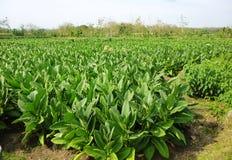 Piantatura del tabacco Fotografie Stock
