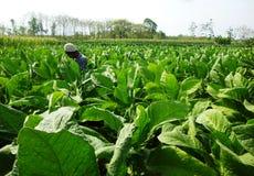 Piantatura del tabacco Fotografia Stock Libera da Diritti