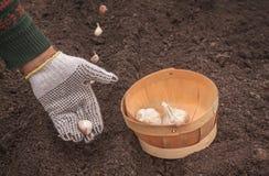 Piantatura dell'aglio di inverno immagini stock libere da diritti