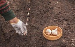 Piantatura dell'aglio prima dell'inverno immagine stock libera da diritti