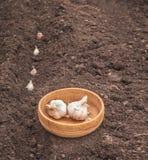Piantatura dell'aglio prima dell'inverno immagini stock