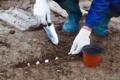 Piantatura dell'aglio in terra Fotografia Stock Libera da Diritti