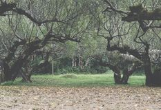 Piantatura dell'albero di albicocca in un campo Frutteto di frutta agriculculture Immagine Stock Libera da Diritti