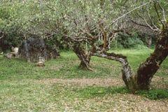 Piantatura dell'albero di albicocca in un campo Frutteto di frutta agriculculture Fotografia Stock Libera da Diritti