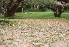 Piantatura dell'albero di albicocca in un campo Frutteto di frutta agriculculture Fotografia Stock
