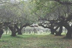 Piantatura dell'albero di albicocca in un campo Frutteto di frutta agriculculture Fotografie Stock Libere da Diritti