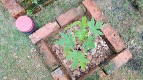 Piantatura dell'albero di papaia fotografia stock libera da diritti