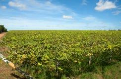 Piantatura dell'uva fotografia stock libera da diritti