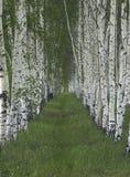 Piantatura della betulla Fotografie Stock Libere da Diritti