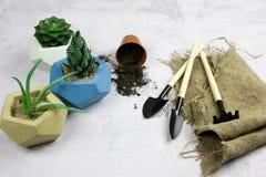 piantatura della crassulacee in vaso concreto, strumenti di giardino fotografia stock
